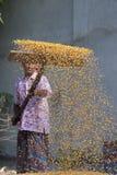 Una cosecha del maíz de la extensión del trabajador para secarse Fotos de archivo libres de regalías