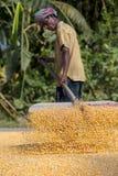 Una cosecha del maíz de la extensión del trabajador para secarse Imagen de archivo