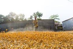 Una cosecha del maíz de la extensión del trabajador para secarse Imagenes de archivo