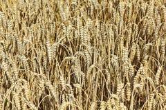 Una cosecha madura del campo de trigo poco antes Imagen de archivo