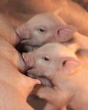 Una cura dei due porcellini fotografie stock libere da diritti