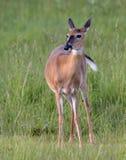 Una daina del whitetail in un campo di erba verde Immagine Stock