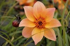 Una dalia anaranjada que florece en un jardín Foto de archivo libre de regalías