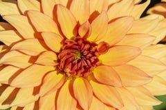 una dalia arancio fotografia stock