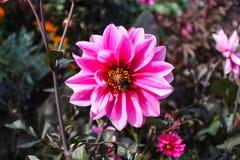 Una dalia bastante rosada y amarilla con una abeja que se arrastra en ella Imagenes de archivo