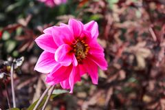Una dalia bastante rosada y amarilla con una abeja que se arrastra en ella Imagen de archivo