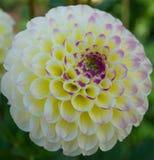 Una dalia blanca y rosada Imagen de archivo