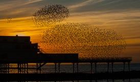 Una danza de la puesta del sol - estorninos Fotos de archivo libres de regalías