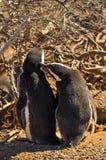 Una datazione di due pinguini di Magellanic Fotografie Stock Libere da Diritti
