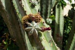 Una de las variedades de cactus foto de archivo