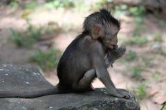 Una disposizione dei posti a sedere su una roccia, Angkor, Cambogia della scimmia del bambino immagini stock libere da diritti