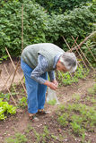 Una donna anziana prende il raccolto di aneto Immagini Stock Libere da Diritti