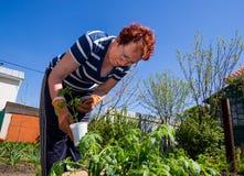 Una donna anziana prepara le piantine per la piantatura nella terra Fotografia Stock