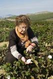 Una donna che controlla qualità del cotone Immagini Stock Libere da Diritti