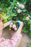 Una donna che si preoccupa per un roseto Fotografia Stock Libera da Diritti