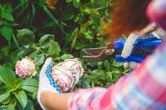 Una donna che si preoccupa per un roseto Fotografia Stock