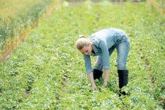 Una donna dell'agricoltore coltiva le patate su un campo dell'estate Immagini Stock