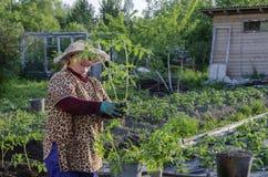Una donna nel paese alle piantine del pomodoro Immagine Stock