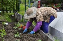 Una donna nel paese che pianta le piantine di pepe in un letto Fotografia Stock