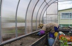 Una donna nel paese sta preparando un letto in una serra per le verdure crescenti Immagini Stock Libere da Diritti