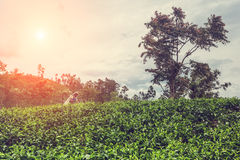 Una donna tamil dallo Sri Lanka rompe le foglie di tè sulla piantagione di tè Immagini Stock