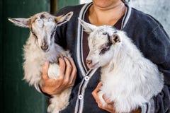 Una donna tiene sul suo piccolo ` s della capra delle mani due Allevamento di più livest Immagine Stock Libera da Diritti