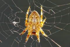 Una ejecución de la araña en su red del Web Fotos de archivo libres de regalías