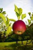 Una ejecución de la manzana en el árbol Foto de archivo libre de regalías