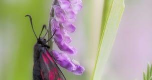 Una ejecución manchada rosada negra de la mariposa en la odisea 7Q 4K del tronco FS700 almacen de video
