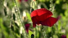 Una encarnación viva de la fantasía de la naturaleza Flores de la amapola que se mueven en el viento almacen de video