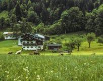 Una escena bucólica del pasto con las vacas y la casa de la granja en las montañas Fotos de archivo