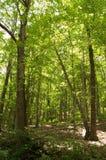 Una escena de maderas Fotografía de archivo