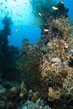 Una escuela de los pescados de cristal/del barrendero de oro Fotografía de archivo