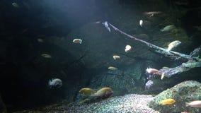 Una escuela de pescados cerca de la roca subacuática en los rayos de la luz almacen de video