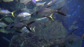 Una escuela de pescados con las colas y las aletas amarillas El pescado tropical nada en agua azul almacen de metraje de vídeo