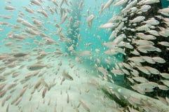 Una escuela de pescados a la baja debajo de un embarcadero foto de archivo