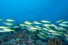 Una escuela del goatfish de la trucha salmonada Foto de archivo libre de regalías