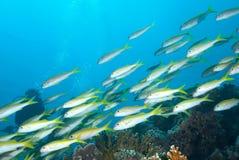 Una escuela del goatfish de la trucha salmonada Imágenes de archivo libres de regalías