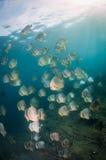 Una escuela grande del batfish Imagen de archivo