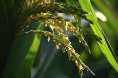 Una espiga de trigo por la mañana Imagen de archivo libre de regalías