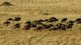 Una estación seca se arraiga Para evitar el hambre, muchos el ñu vaga la sabana africana del este que persigue la lluvia fotografía de archivo libre de regalías
