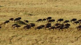 Una estación seca se arraiga Para evitar el hambre, muchos el ñu vaga la sabana africana del este que persigue la lluvia imágenes de archivo libres de regalías