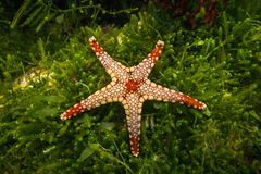 Una estrella de mar elegante de los monilis de Fromia de las estrellas de mar Foto de archivo