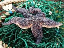 Una estrella de mar en una red de pesca Fotografía de archivo libre de regalías