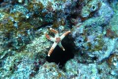 Una estrella de mar linda marrón blanca Imagen de archivo libre de regalías