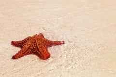 Una estrella de mar roja Foto de archivo libre de regalías