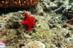 Una estrella de mar roja Foto de archivo