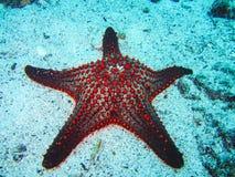 Una estrella de mar roja colorida del amortiguador en las islas de las Islas Galápagos fotos de archivo