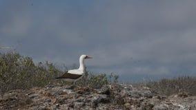 Una exhibición de acoplamiento del bobo del nazca en el isla Genovesa en las Islas Galápagos almacen de video