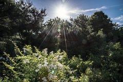Una explosión del sol de la mañana mira a escondidas sobre los árboles y enciende un arbusto floreciente imagen de archivo